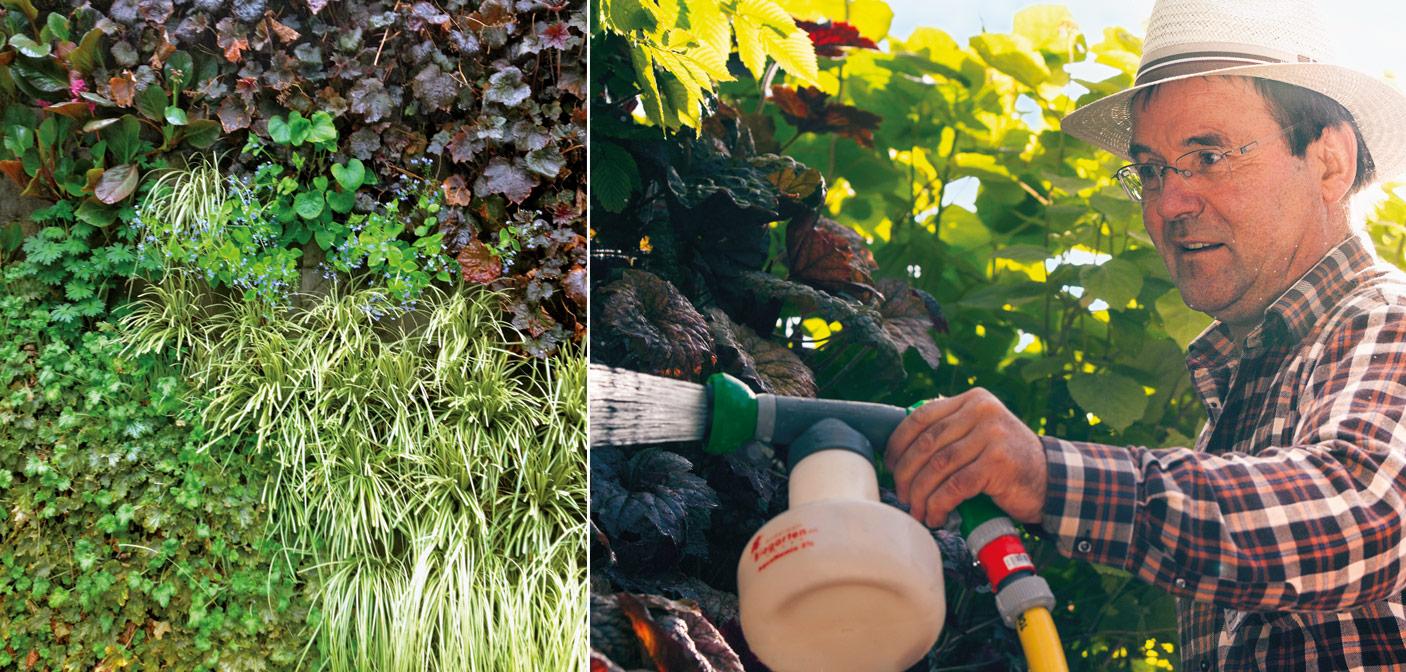 Rückschnitt als eine der notwendigen Pflegemaßnahmen und Einsatz von Nematoden zur Schädlingsbekämpfung (Fotos: Vertigo)