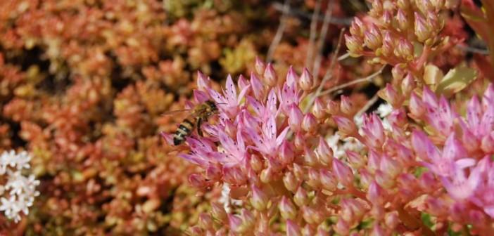 Wildbienen finden sich auf allen Dachbegrünungen schnell ein. - © Optigrün, Mann