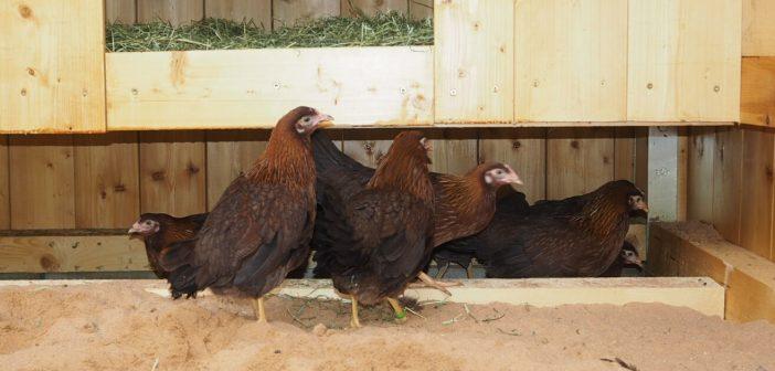 Baugesellschaft Hanau präsentiert den ersten Hühnerstall für ihre Mieter